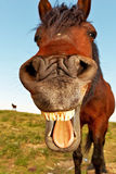 HORSE with mouth open and tongue out