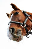 Funny horse Royalty Free Stock Images