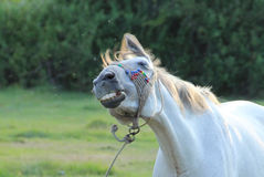 Funny horse. Animal theme, close up Stock Images