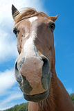 Funny horse Royalty Free Stock Image
