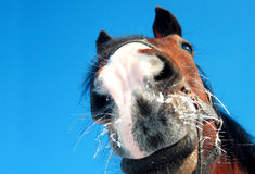 Funny horse closeup on blue background. Funny bay horse closeup on blue background royalty free stock photo
