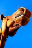 Funny horse face Stock Photo