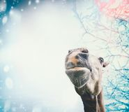 Funny horse face at snowy winter background Royalty Free Stock Photo