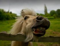 Funny horse laughing Royalty Free Stock Image