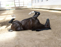 Funny Horse lie on the back Royalty Free Stock Image
