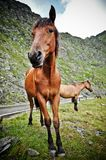 The funny horse from montain Royalty Free Stock Images