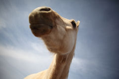 Funny horse portrait. Funny portrait of a Palomino horse head in front of blue sky background Royalty Free Stock Images