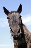Funny horse portrait Stock Images