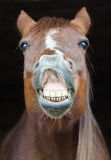 Funny horse portrait. Funny portrait of horse showing teeth Stock Photography