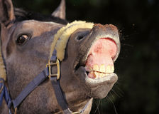 Funny horse portrait Royalty Free Stock Photo