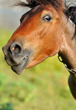 Funny horse. Horse with a sense of humor Royalty Free Stock Image