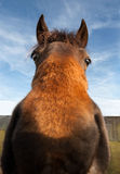 Funny horse with wild eyes. Wild-eyed funny horse closeup looking at camera Royalty Free Stock Photo