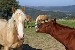 Funny horses. Horse laughing at other horse in beautiful hill landscape Royalty Free Stock Photo