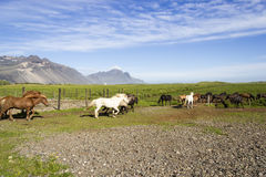 Funny horses in the fields of Iceland Stock Photo