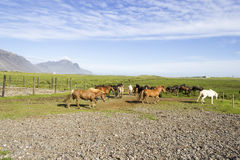 Funny horses in the fields of Iceland Royalty Free Stock Photo