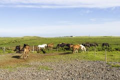 Funny horses in the fields of Iceland Royalty Free Stock Image