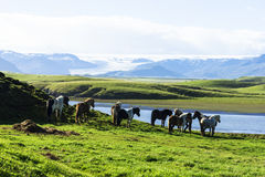 Funny horses in the fields of Iceland Stock Image