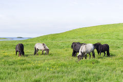 Funny horses in the fields of Iceland Royalty Free Stock Photography