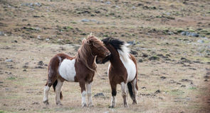 Funny horses in the fields of Iceland Stock Photography
