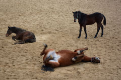 Funny horses laiyng in sand. Cute horse rolling in sand. Have fun like children Royalty Free Stock Photos