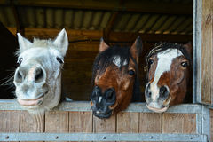 Funny horses in their stable Stock Photography