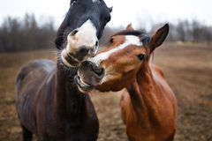 Funny horses Stock Image