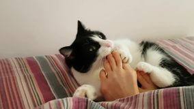 Funny house cat actively playing with the feet of the owner in the morning. The legs of the owner stick out from under the blanket. And the young playful cat stock video footage