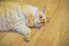 Funny huge white red cat with blue eyes and long hair lies lazily on floor in apartment royalty free stock photography