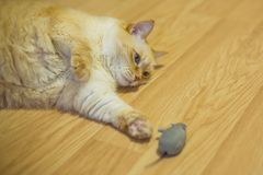 Funny huge white red cat with blue eyes and long hair lies lazily on floor in apartment and playing with toy gray mouse. Close-up funny huge white red cat with stock photography