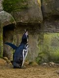 Funny humboldt penguin screaming and making a hard sound, waterbird from the pacific coast, threatened animal specie. A funny humboldt penguin screaming and stock photo