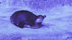 Funny Humboldt penguin trying get to sleep stock footage video stock video