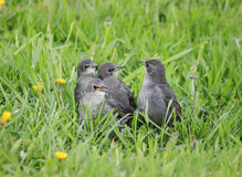 Funny hungry baby Starling is walking through the grass in spri Stock Photo