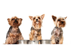 Funny hungry dogs with empty dishes. Royalty Free Stock Photography