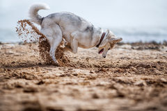 Funny Husky digging. Sand at the beach royalty free stock photography