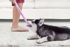 Funny husky dog biting a sock. Image of a funny siberian husky dog play and bite a sock with a boy at home royalty free stock image