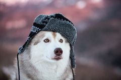 Funny husky dog is in black warm hat. happy dog breed siberian husky is on the snow in winter forest. Funny husky dog is in black warm hat. Profile portrait of royalty free stock image