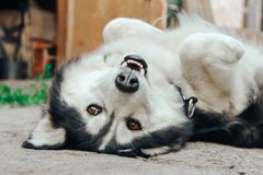 Lazy Husky dog sleeps on his back in the yard Royalty Free Stock Image