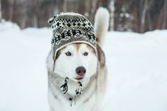 Funny husky dog is in wool hat. Close-up portrait of lovely dog breed siberian husky is on the snow in winter forest royalty free stock photo