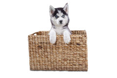 Funny husky dog in the wooden box Royalty Free Stock Images