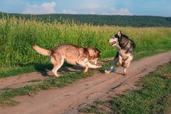 Funny husky dogs play with plastic bottle on dirt road against green field. Siberian husky jumping, and running on the walk.  royalty free stock photo