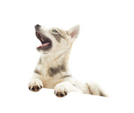 Funny husky Royalty Free Stock Photos