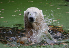 Funny icebear. An icebear playing in the water royalty free stock image