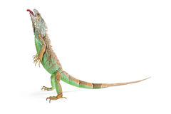 Funny iguana standing tongue out Stock Photos
