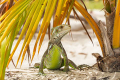 Funny iguana under palm leaf on beach. A beautiful example of iguana stands looking around under a palm leaf on a sandy beach in Guadeloupe Stock Images