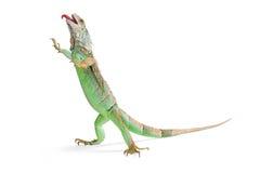 Funny Iguana Walking Tongue Out Royalty Free Stock Photography
