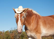 Funny image of a blond Belgian Draft horse Stock Photos
