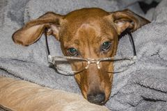 Funny image of a dachshund with glasses stock image