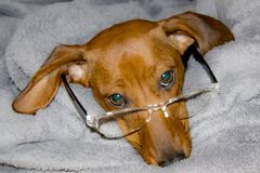 Funny image of a dachshund with glasses on his bed stock photography