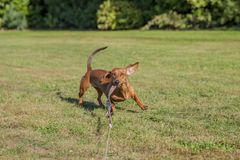 Funny image of a dachshund playing with his leash royalty free stock image