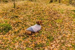 Funny image of a dachshund with a sweater sitting on grass royalty free stock photos